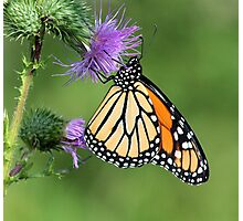 Monarch on a Thistle Photographic Print
