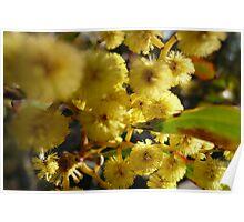 NL- Acacia Blossoms 1 Poster