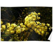 NL- Acacia Blossom 3 Poster