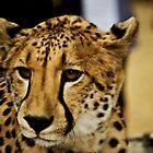 Cheetah by JeZzLe