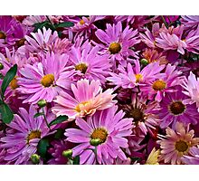 Pink Asters 2 Photographic Print