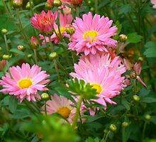 Pink Asters 4 by AnnArtshock
