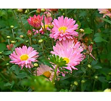 Pink Asters 4 Photographic Print