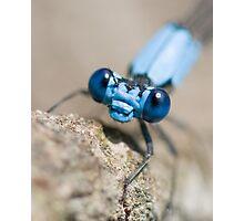 blue damselfly, close-up Photographic Print