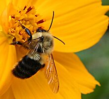 Bumble Bee at Work by Patricia Montgomery