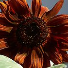 Bronze sunflower by peggywright