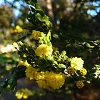 Acacia Blossoms 6 by beeden