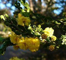Acacia Blossoms 7 by beeden