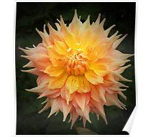 Beautiful Orange Dahlia Macro Poster