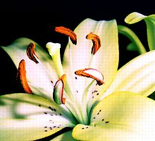 The Lily by JuliaWright