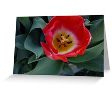Tulipa Greeting Card
