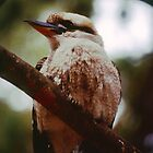 Kookaburra at Zumsteins, Grampians, Victoria by haymelter