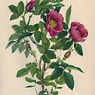 Wild Rose-Available As Art Prints-Mugs,Cases,Duvets,T Shirts,Stickers,etc by Robert Burns