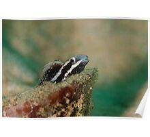 Hermit Goby Poster