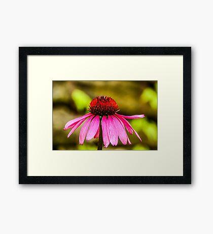 Purple Coneflower - Single Framed Print
