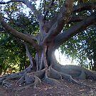 Old Man Tree by Charlotta