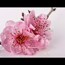 Cherry Blossom by Samantha Cole-Surjan