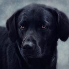 black Labrador by lucyliu