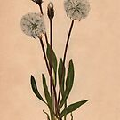 Slender Agoseris-Available As Art Prints-Mugs,Cases,Duvets,T Shirts,Stickers,etc by Robert Burns