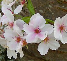 Yoshino Blossoms by Glenn Grossman