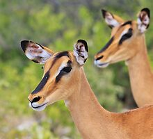 Black Faced Impala - Together in Curiosity by LivingWild