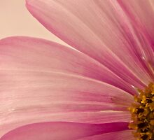 Pink Cosmo Macro  by Sandra Foster