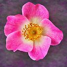 Wild Rose by M.S. Photography/Art
