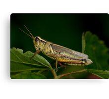 Two-Striped Grasshopper Canvas Print