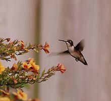 Hummingbird III by Robin Webster