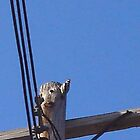 Woodpecker on telephone pole. by ephotodesigner
