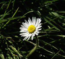 Daisy by g369