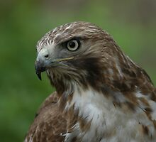 red-tail portrait by George  Close