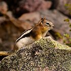 CHIPMUNK  by Sandy Stewart