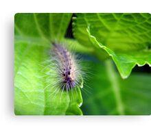 Furry Little Hydrangea Eater Canvas Print