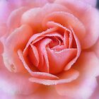 new rose by Floralynne
