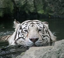 Bengal Tiger in Water  - Panthera tigris tigris by Jo  McCarthy