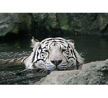 Bengal Tiger in Water  - Panthera tigris tigris Photographic Print