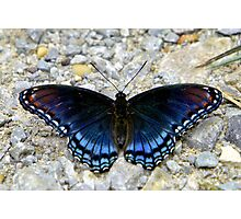 Red-spotted Purple Photographic Print