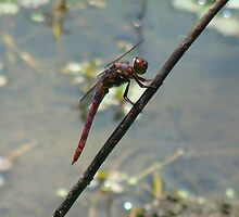 Dragonflies Smile, Too by Catherine  Howell