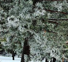 Frosted Pine dedicated to finding winter beauty by Kelly  McAleer