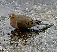 A Morning Dove Looking Lost in the afternoon by Larry Llewellyn
