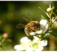 A busy little Bee Photographic Print