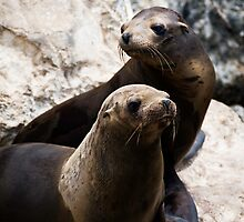 Sea Lion Pups by Alison Cornford-Matheson