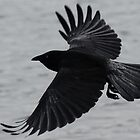 Black crow in flight. by Michelle *