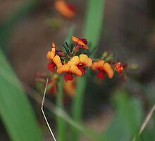 Kennedia coccinea....coral vine by Michelle *