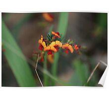 Kennedia coccinea....coral vine Poster