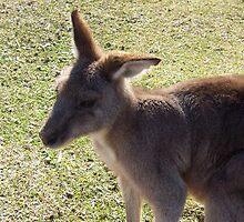 Kangaroo close-up by JBPhotographs