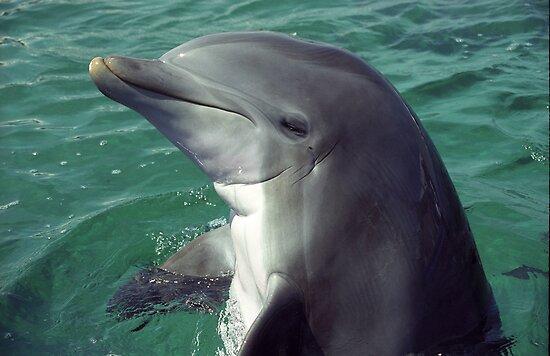 Bottlenose Dolphin by Kristin Nichole Hamm
