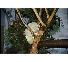 White Koala Photographic Print