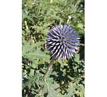 Purple Globe Thistle Echinops Photographic Print